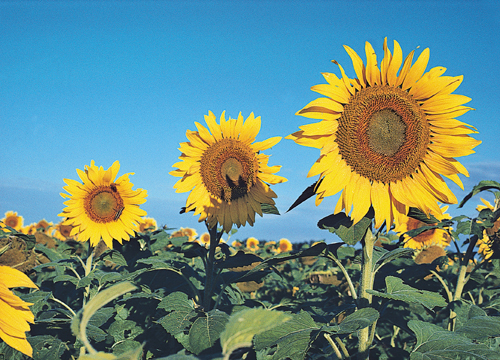 Glorious sunflowers, the main ingredient in SunButter.